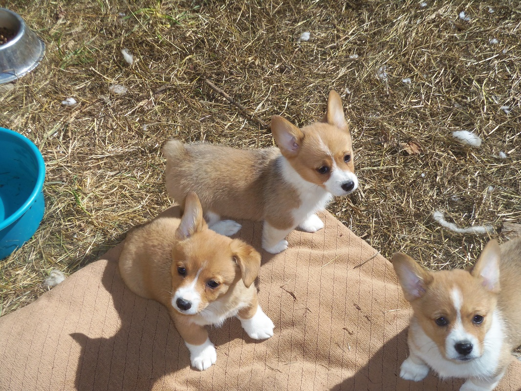 Mini Corgi Puppies For Sale >> Nistler S Farm Corgis Nistler S Farm Corgis